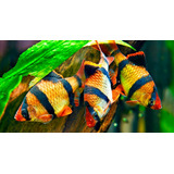 Peces Tropicales Barbo Tigre
