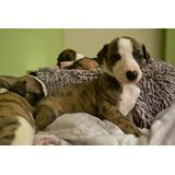 Whippet (galgo Ingles) Cachorros
