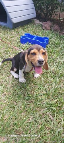 Vendo Cachorro Beagle 2 Meses
