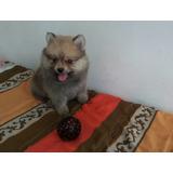 Hembrita Pomeranian Spitz Enano